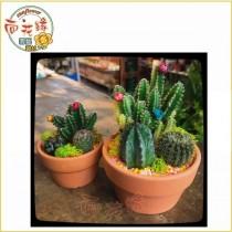 【向花緣】仙人掌組盆 - 3.5吋盆(大)